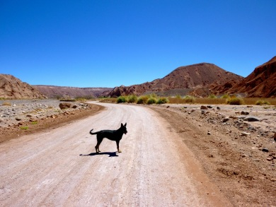 Dog standing in the middle of a road in the outskirts of the Atacama Desert in Chile