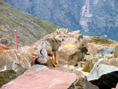 A fox on top of the mountain, La Campana, in Chile