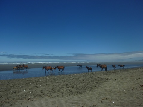 Wild horses roaming the beach in Southern Chile