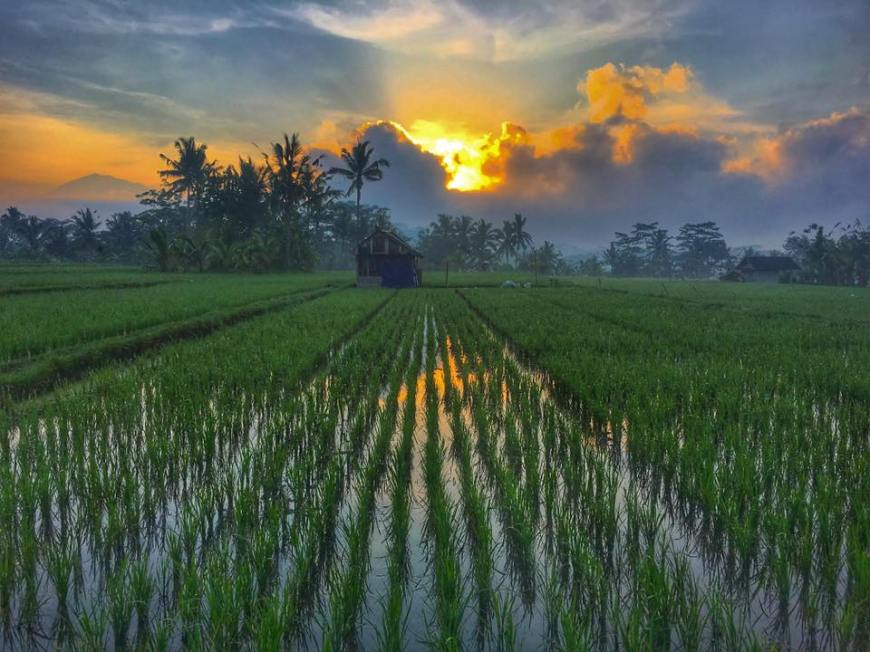 Sunset over a rice field in Tampak Siring, Bali