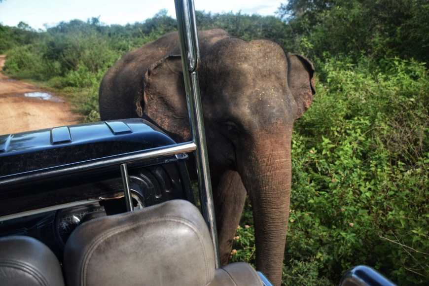Elephant walking right next to the front of a safari jeep on a road inside Udawalawe national park in Sri Lanka